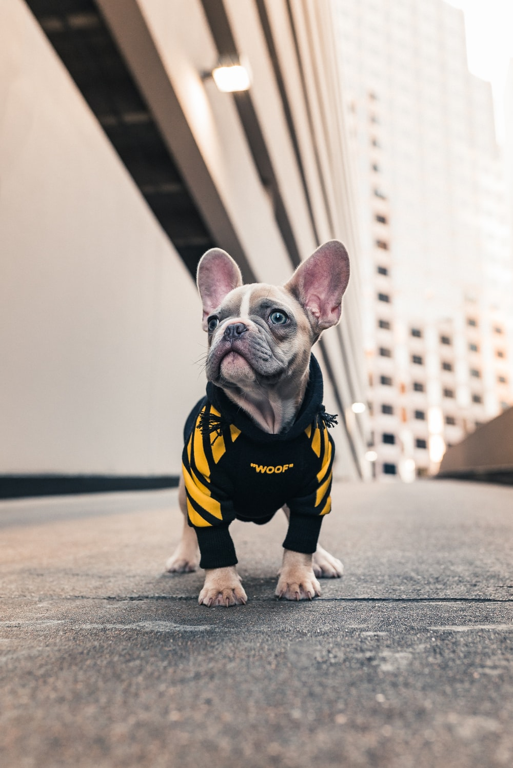 brown french bulldog wearing black and yellow shirt