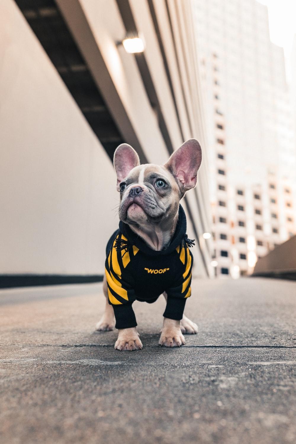brown french bulldog wearing black and yellow shirt