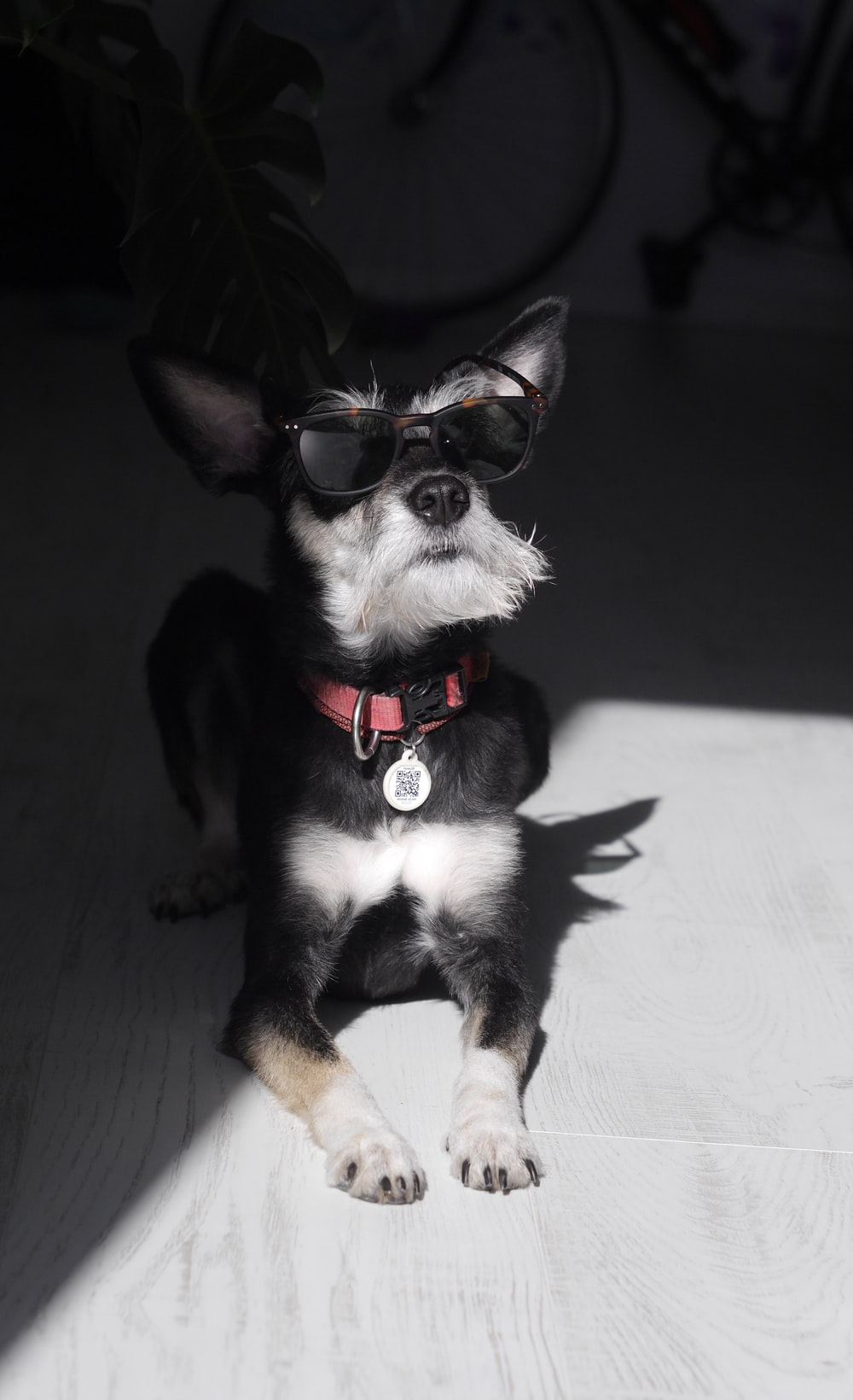black and white short coated small sized dog wearing red sunglasses