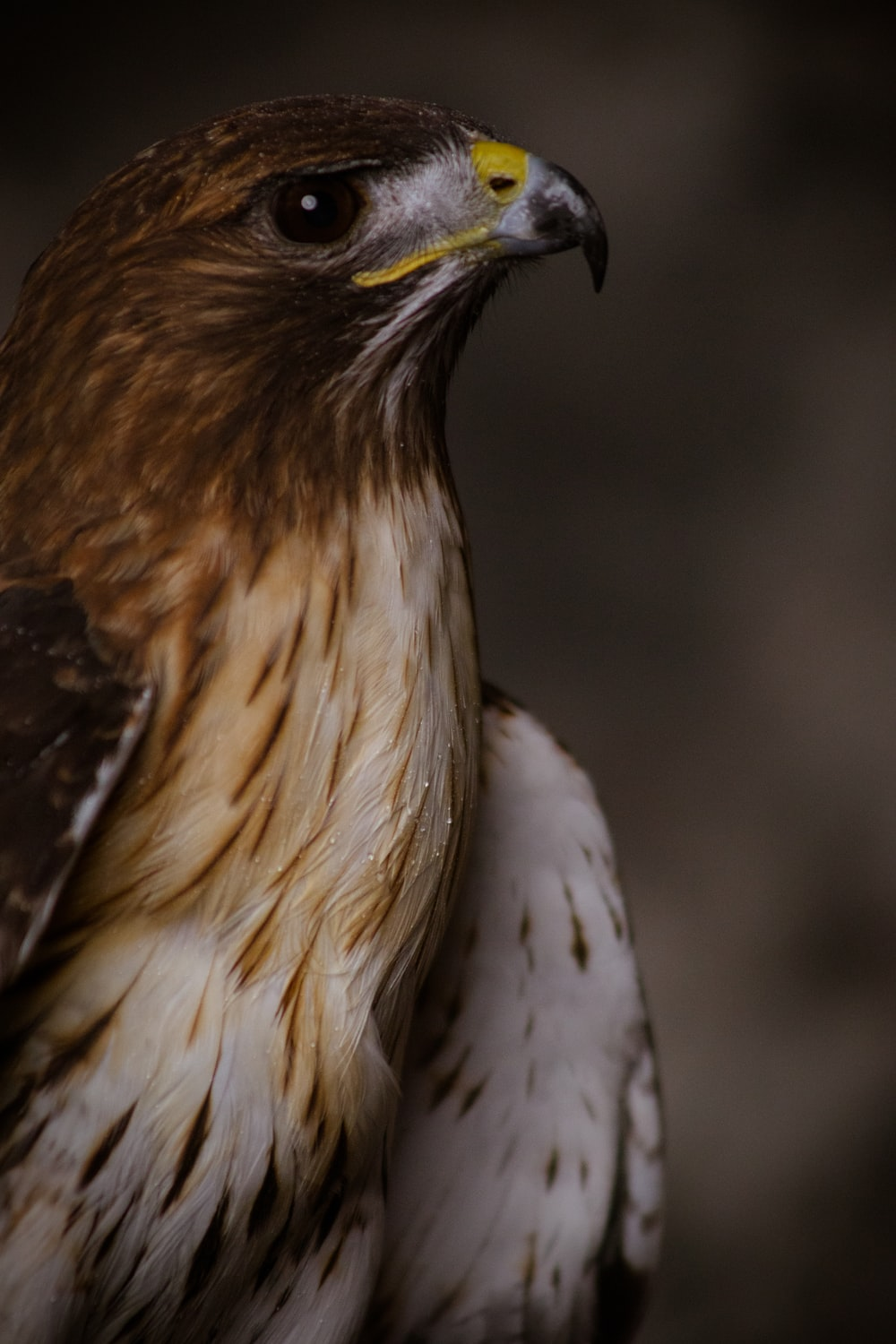 white and brown eagle in close up photography