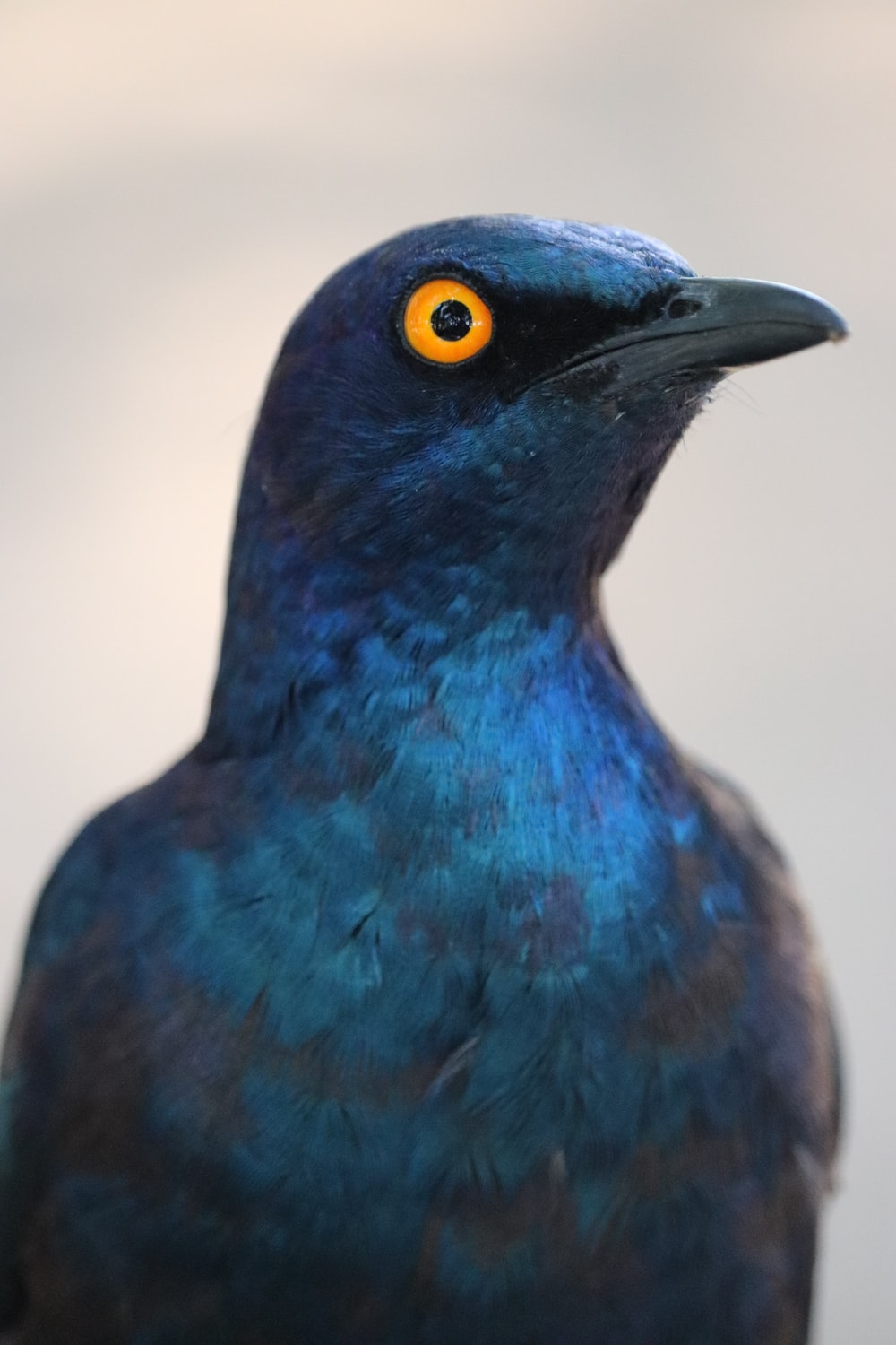 blue bird with yellow eyes