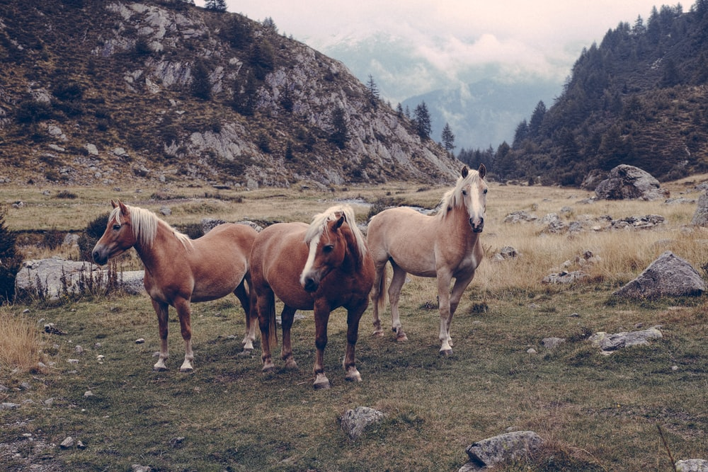 three brown horses on green grass field during daytime