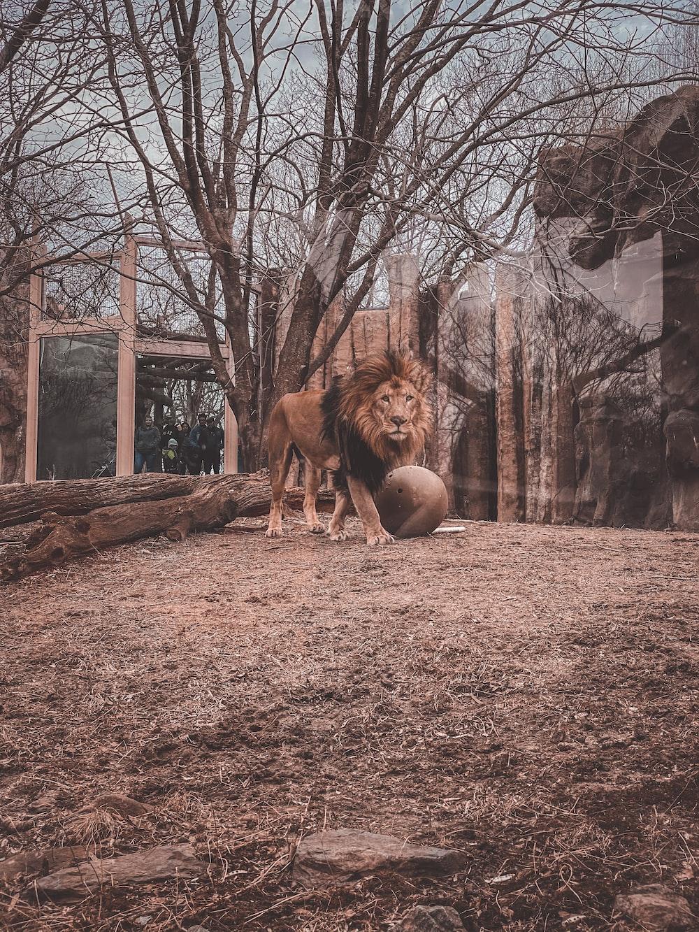 brown lion on brown grass field