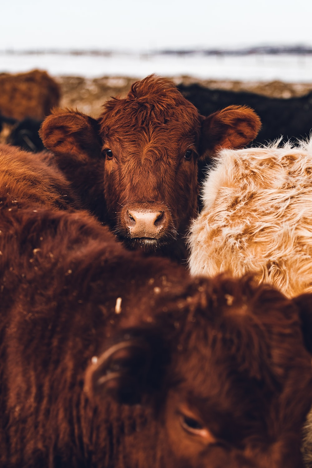 brown cow with white fur textile
