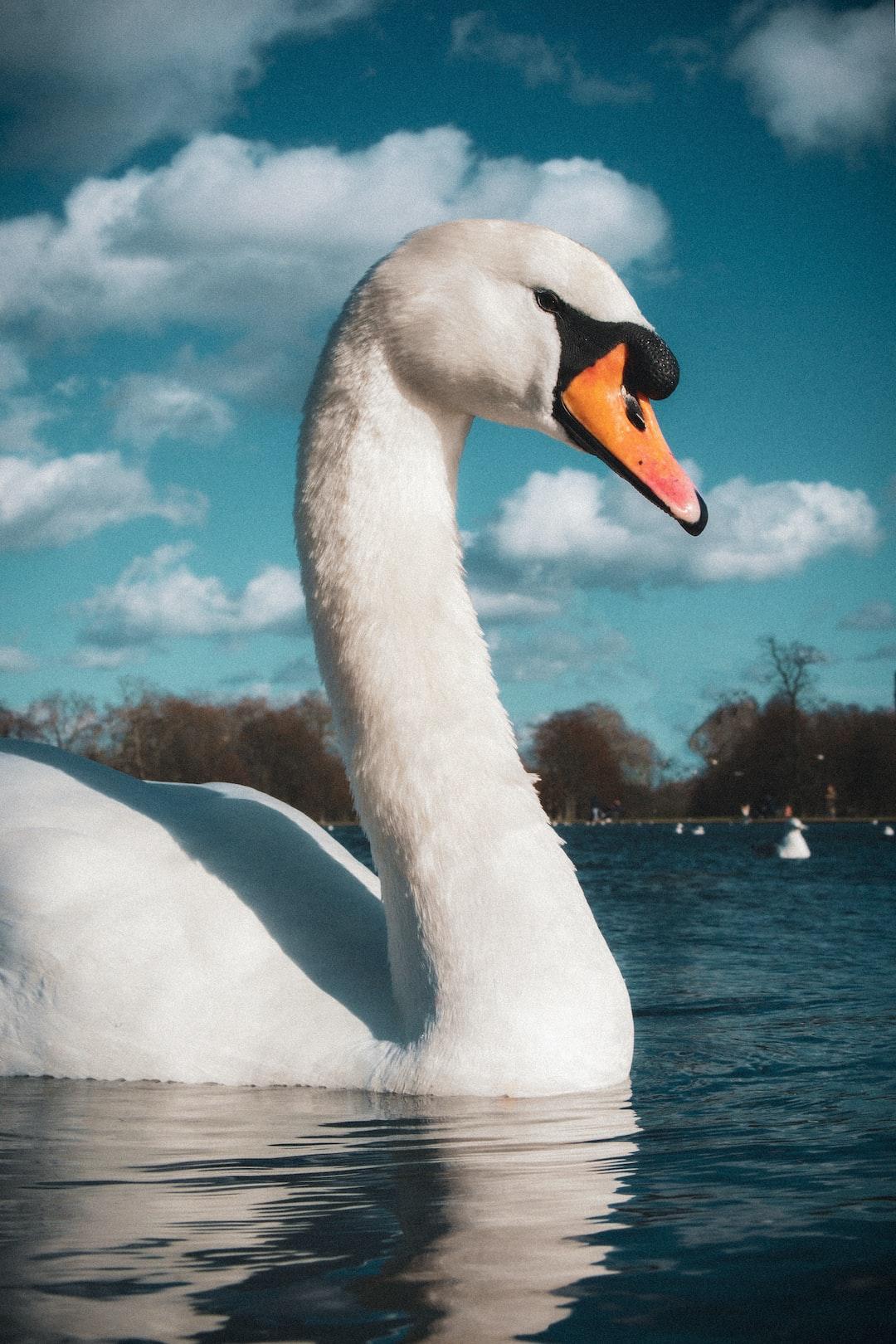 Portrait of Swan in Hyde Park, London