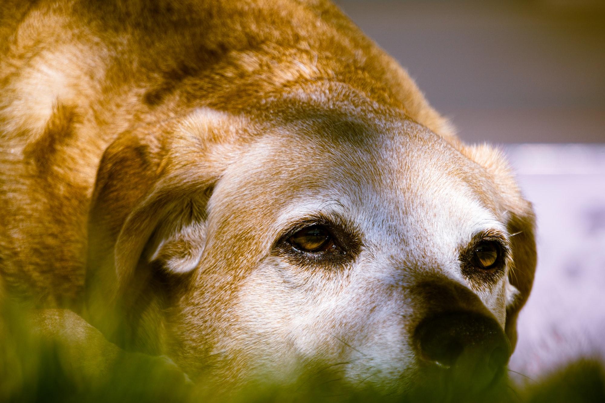 I segni della vecchiaia in un cane