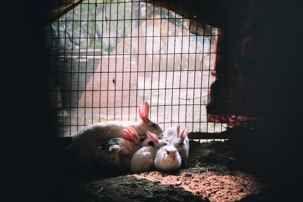 white and brown pigs in cage