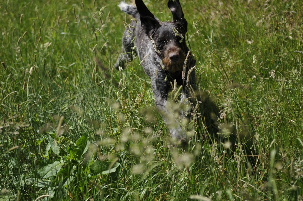 black and white short coated dog on green grass field during daytime