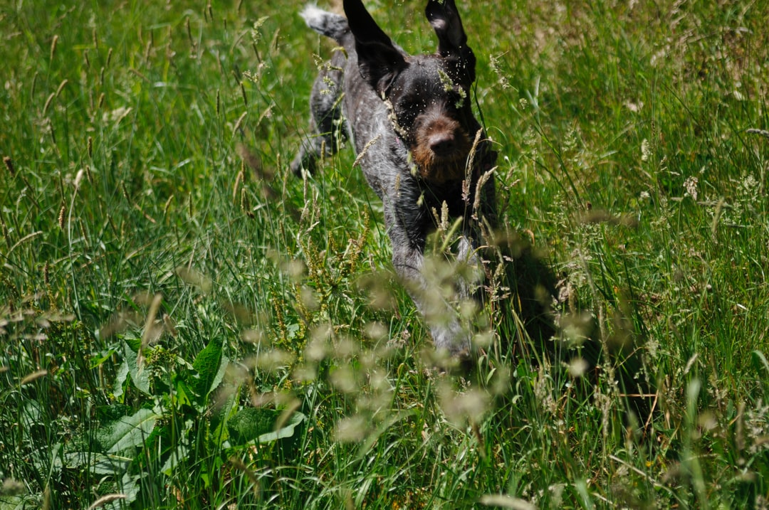 Dog running in green gras