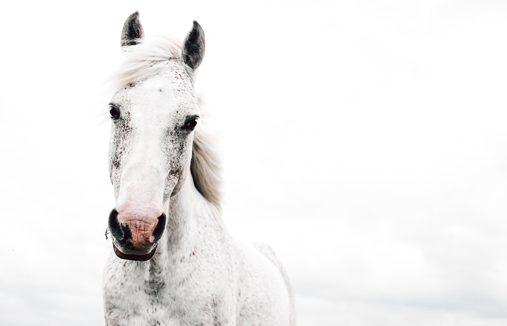 white horse with tongue out
