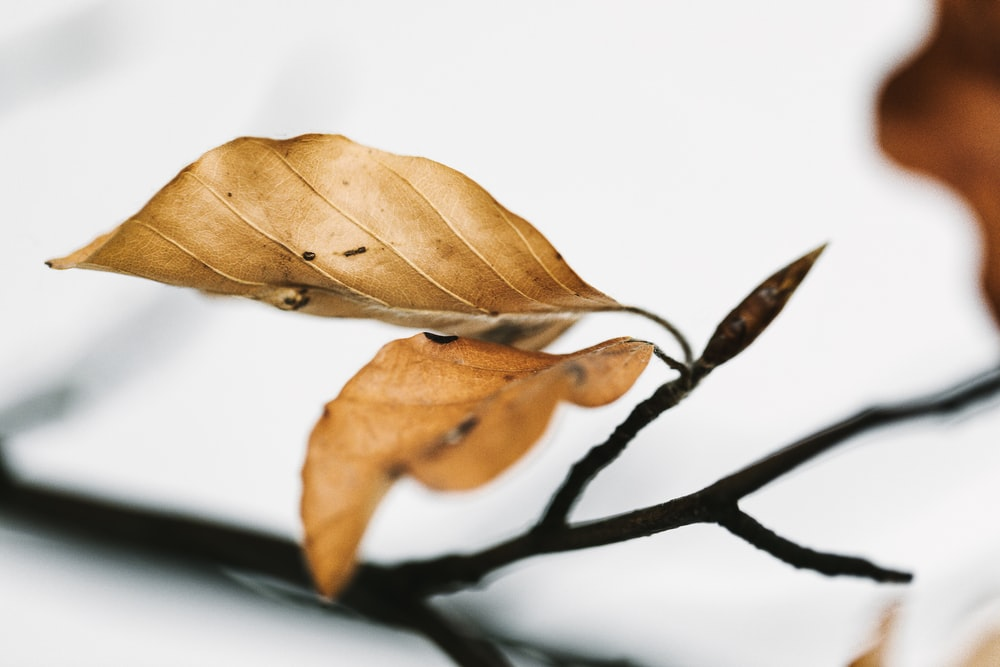 brown leaf on white surface