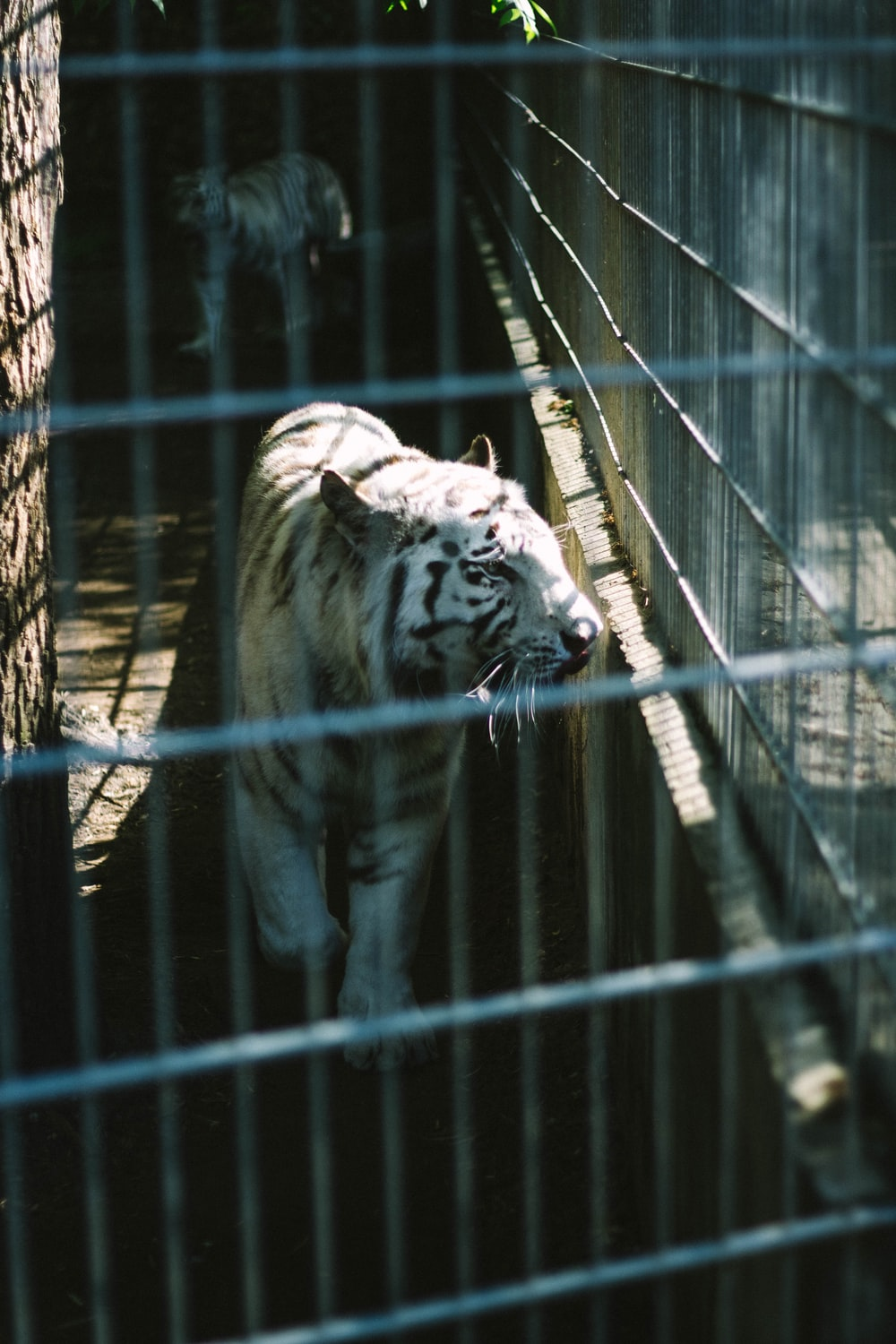 white and black tiger in cage