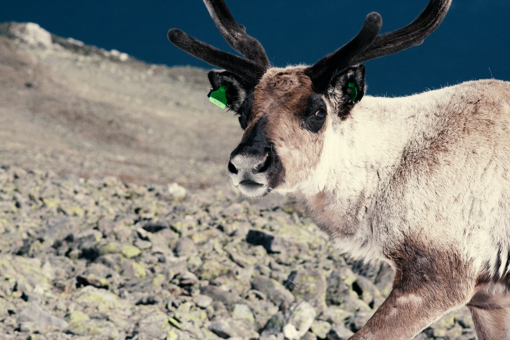 white and brown goat on gray ground during daytime