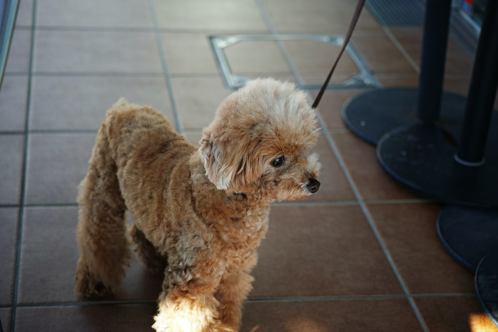 brown poodle puppy on brown floor tiles
