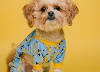 white and brown long coated small dog wearing blue and white polka dot shirt