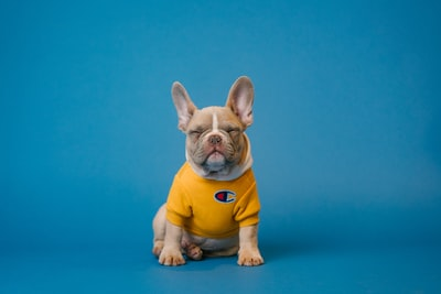 brown french bulldog wearing yellow shirt dog zoom background