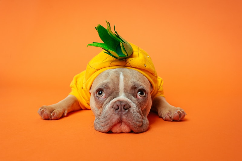 brown and white short coated dog wearing yellow and green shirt lying on orange textile