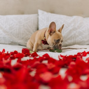 fawn pug lying on red and white floral textile