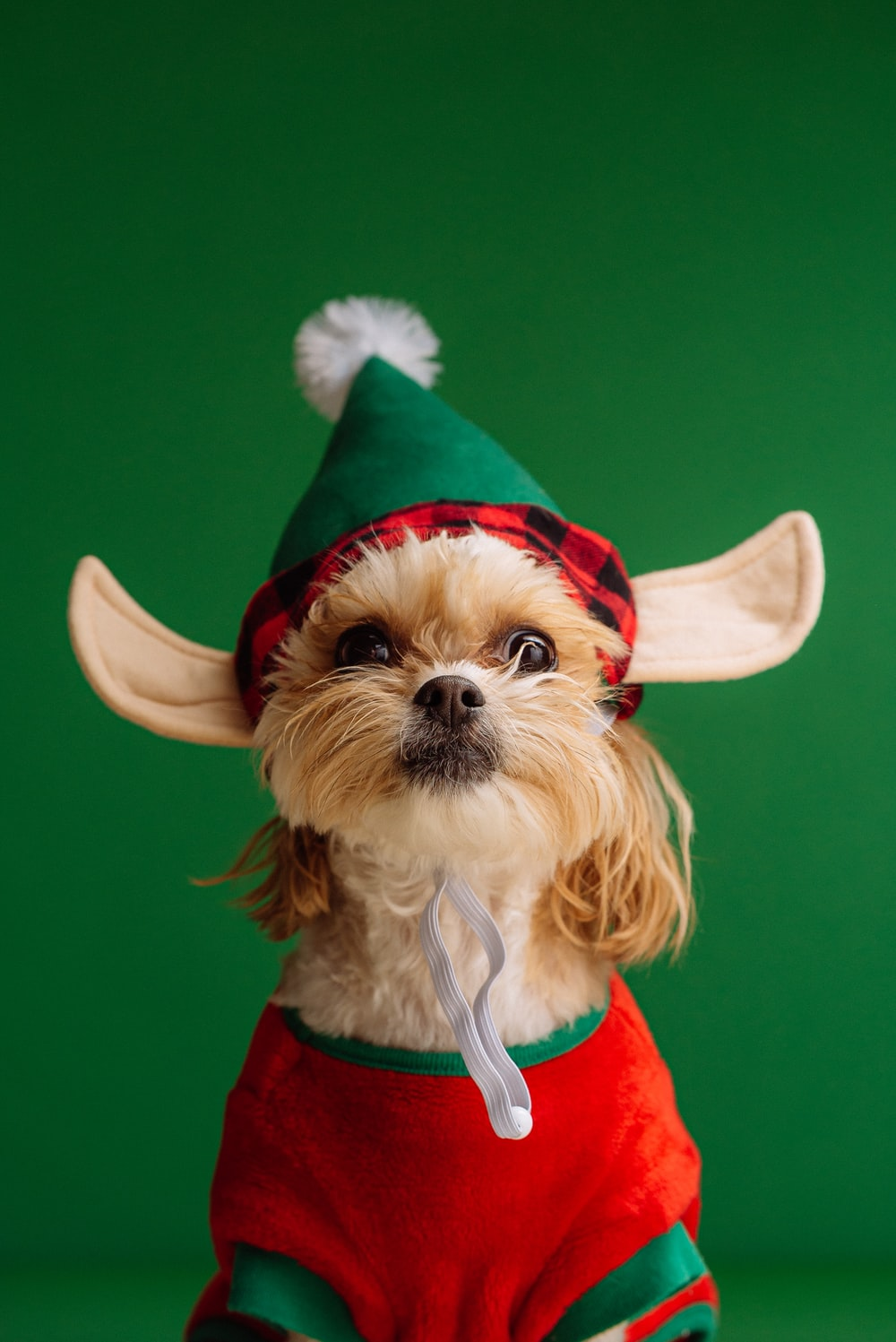 white and brown long coated small dog wearing santa hat
