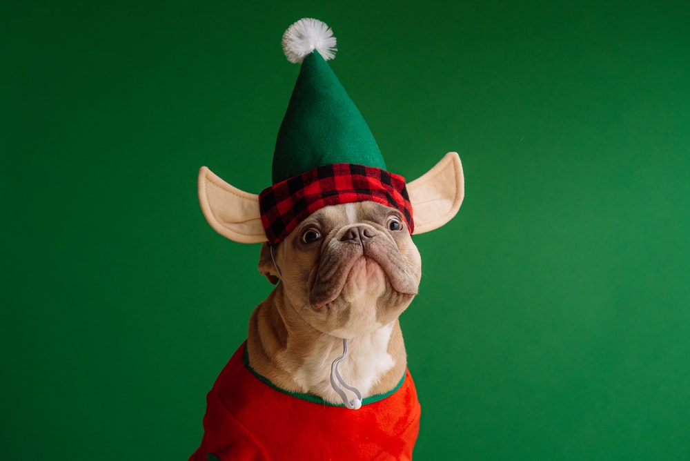 brown pug wearing santa hat
