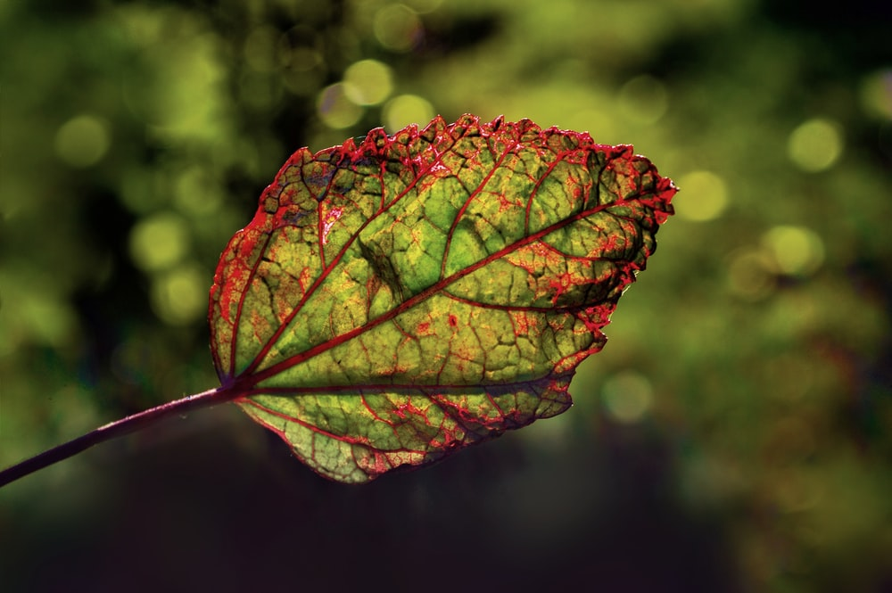 red and green leaf in close up photography