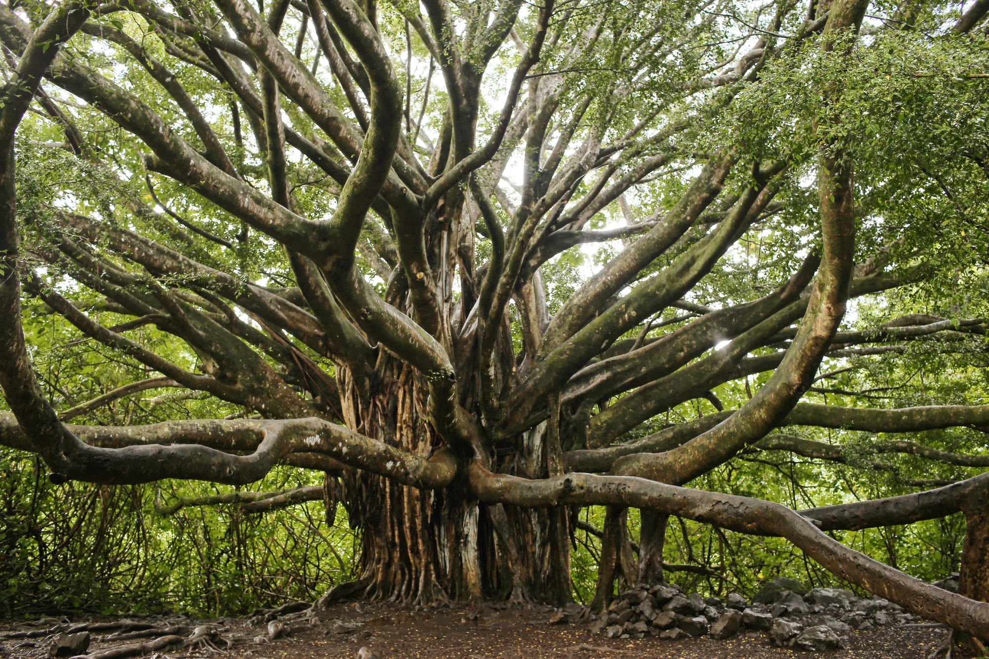 An old banyan tree with thick moss-laden trunks and roots that dangle from the trunks.