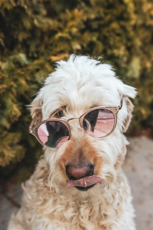 white long coated dog wearing brown framed sunglasses