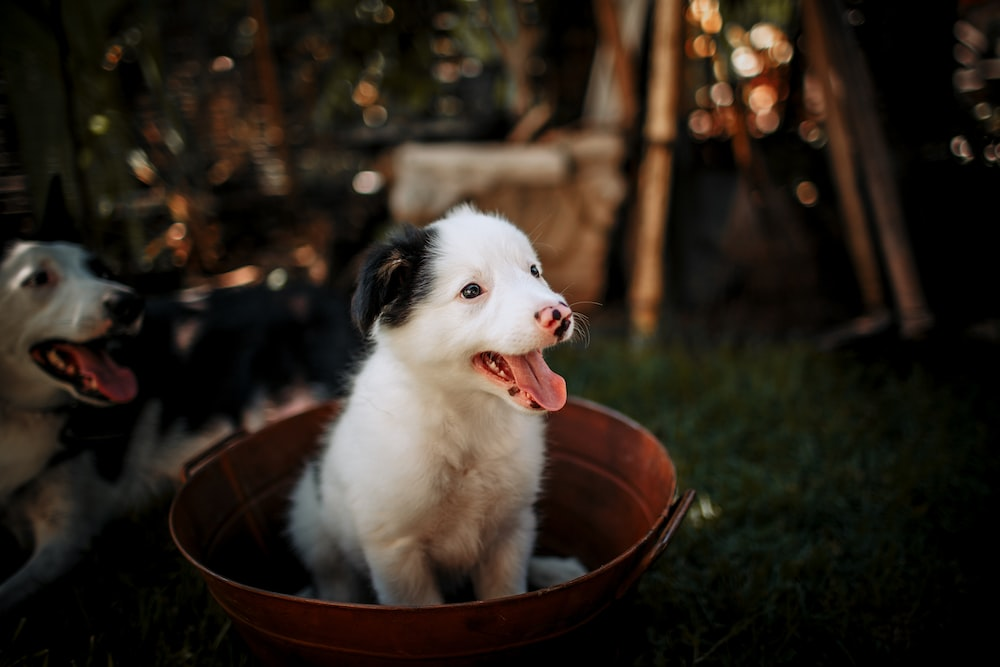 white and black short coated dog in brown round plastic basin