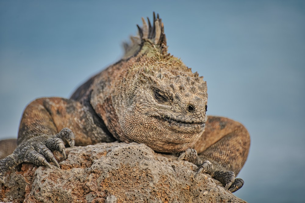brown and black bearded dragon on brown rock during daytime
