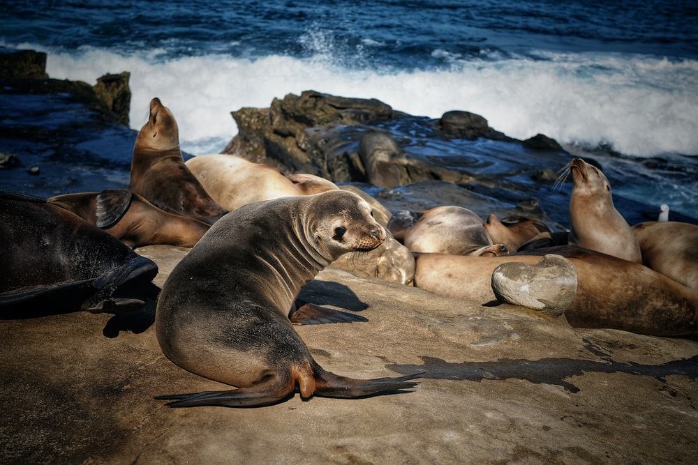 sea lion on brown rock near body of water during daytime