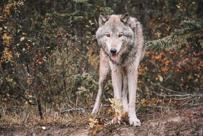 Wolf in the woods of the Canadian Rockies