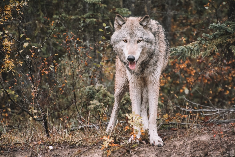 white and gray wolf on forest during daytime