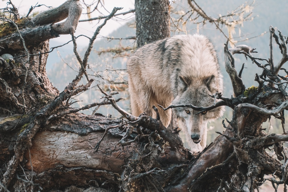 brown wolf on brown tree branch during daytime