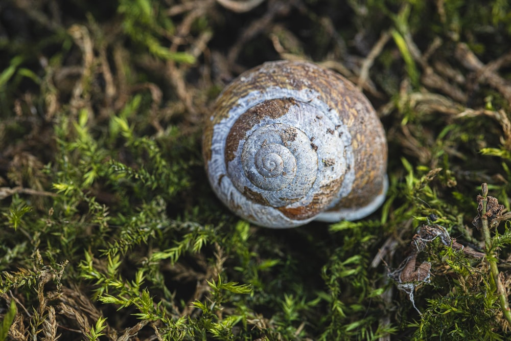 brown and white snail on green grass