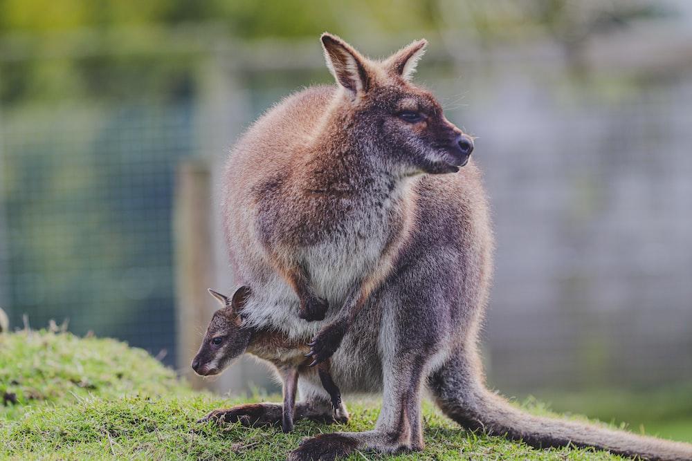 brown kangaroo in green grass field during daytime