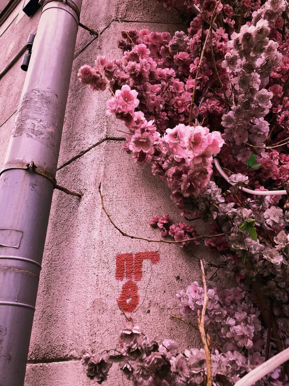 pink cherry blossom tree on gray concrete wall
