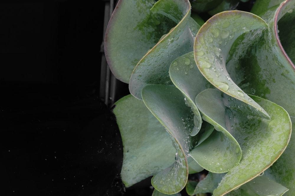 green and white lotus pad