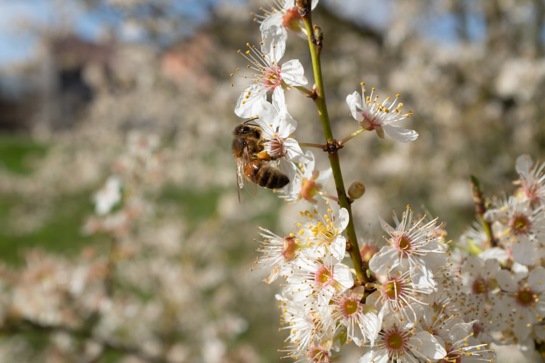 The first flowers of spring make bees happy. Here, a Prunus Spinosa