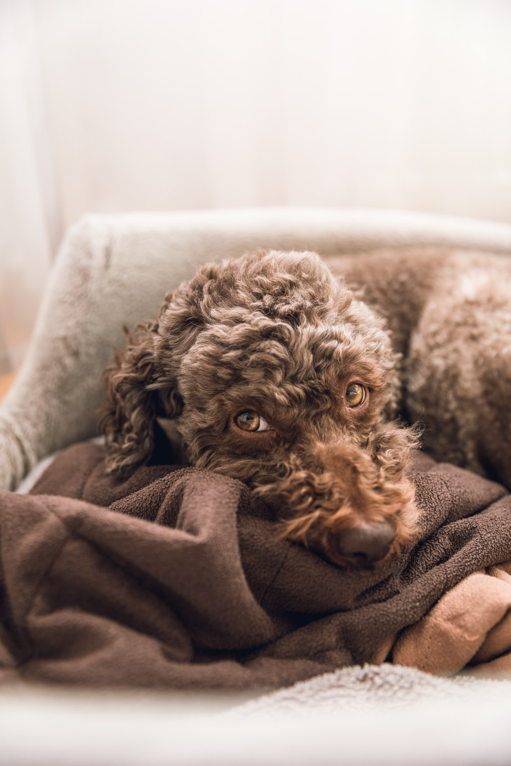 brown curly coated small dog lying on white textile