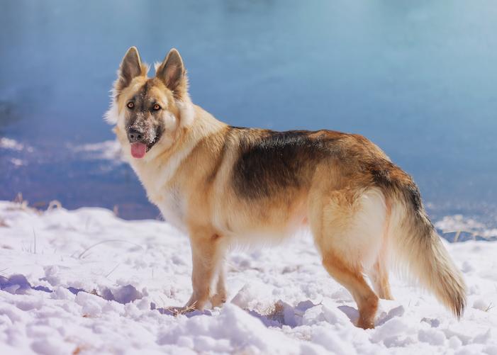 german shepherd size snow