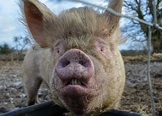 pig lying on blue metal fence