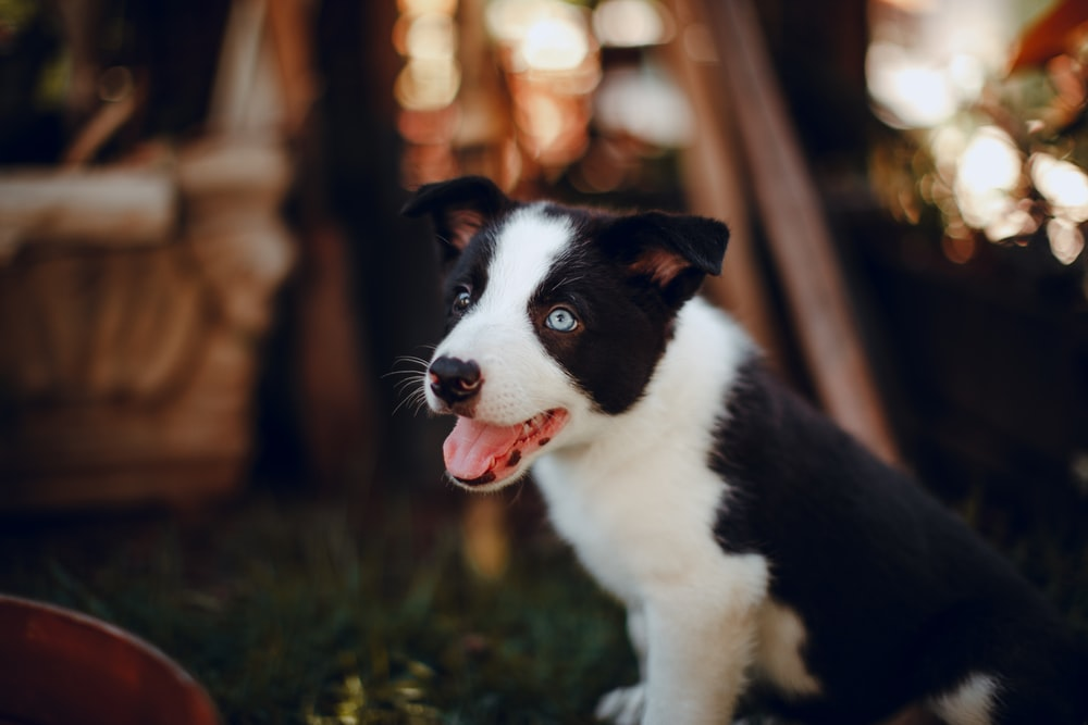 black and white border collie puppy on green grass during daytime