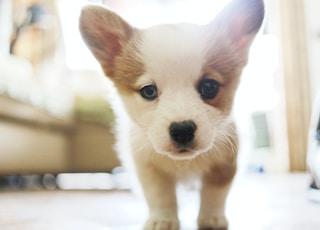 white puppy on white floor