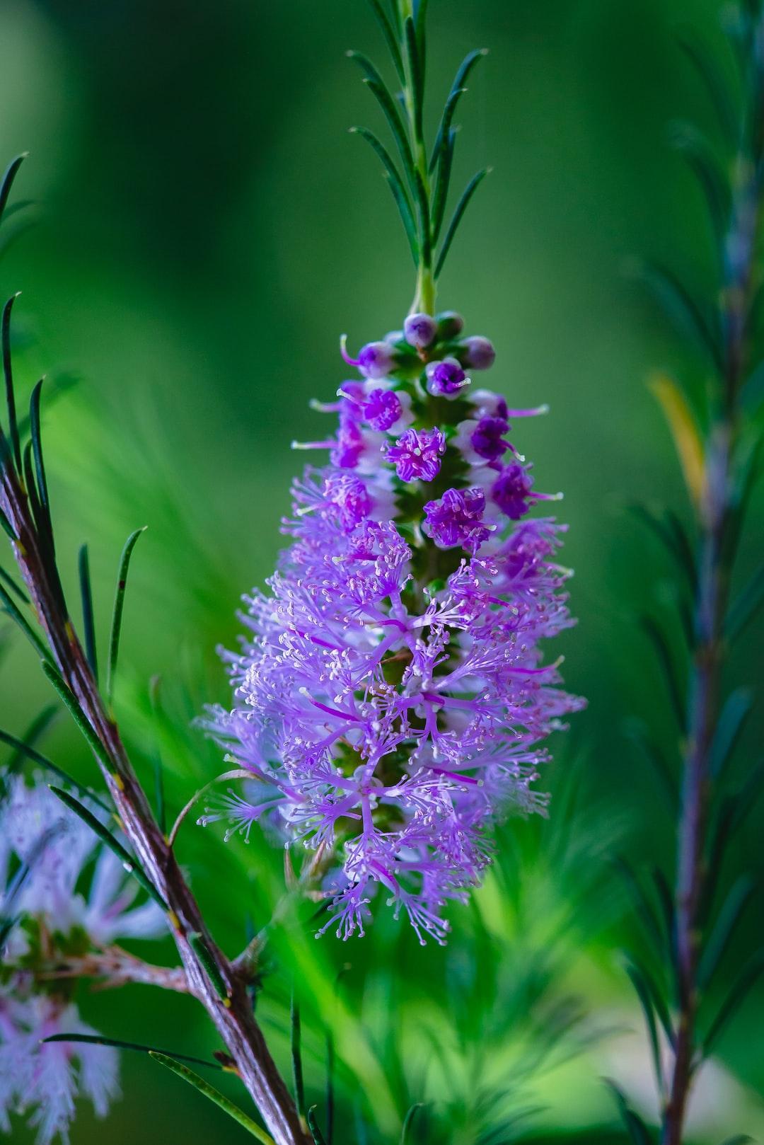 Purple Bottle Brush