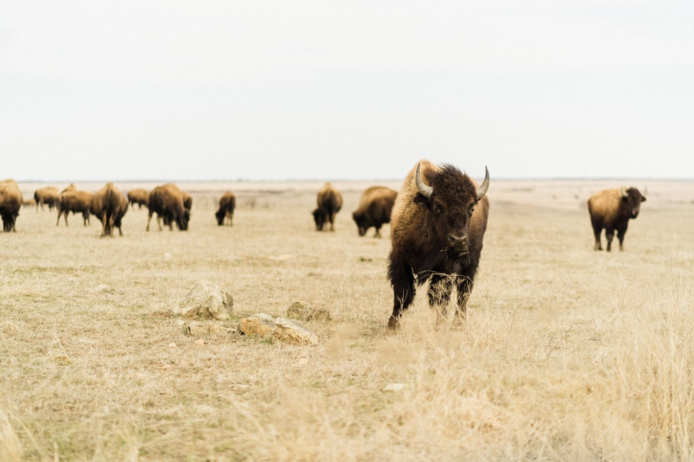 black bison on brown grass field during daytime