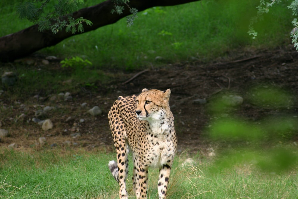 cheetah lying on green grass during daytime