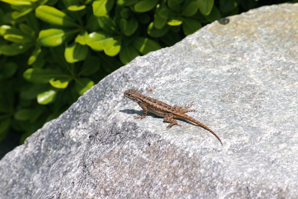 brown lizard on gray rock