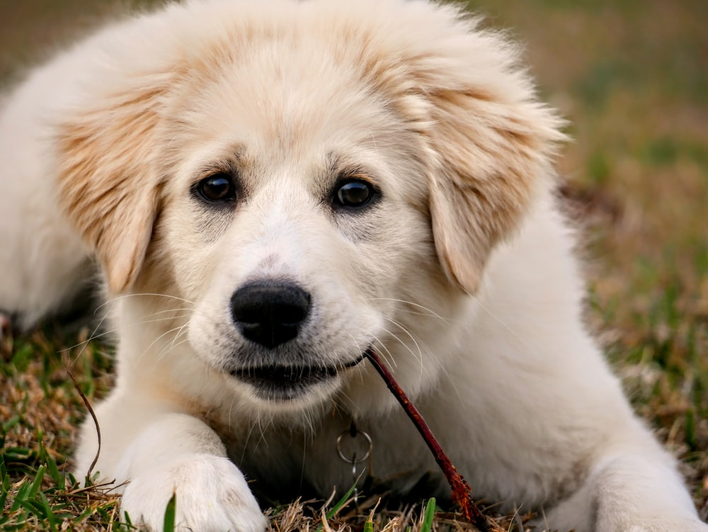white long coated dog lying on green grass field during daytime