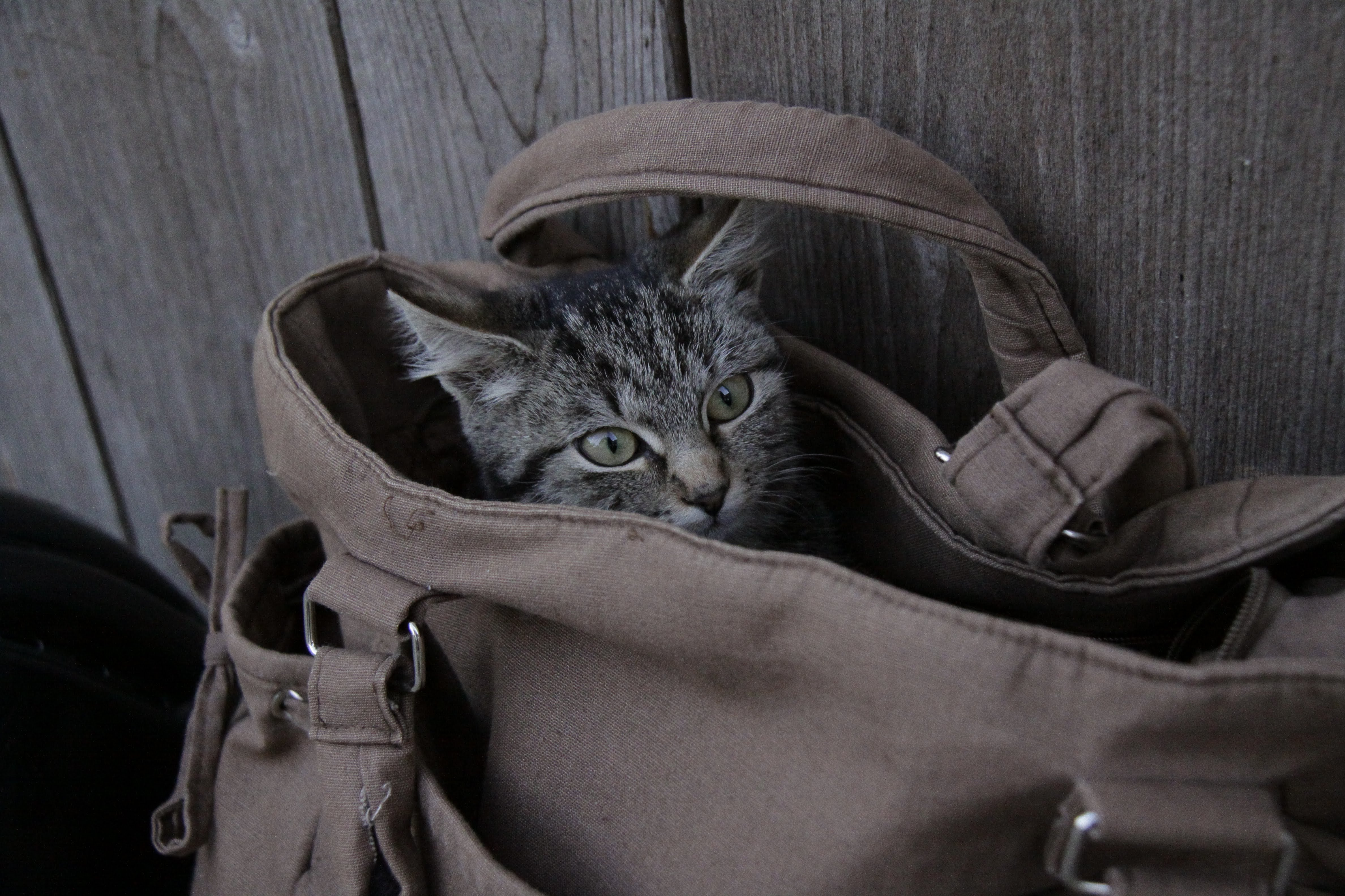 silver tabby cat in brown leather bag