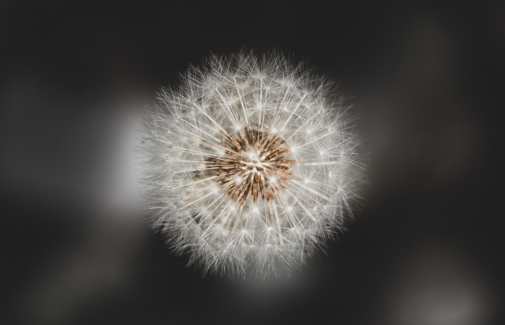 white dandelion in close up photography